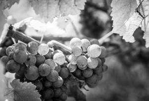 Vendanges Domaine Gruss, Eguisheim, Alsace - Pinot Gris Grand Cru Vorbourg