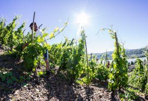 Domaine E. Guigal - Relevage des pieds de vignes dans la parcell