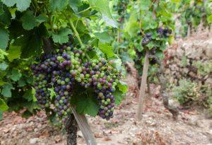Domaine E. Guigal - Véraison du raisin dans la parcelle La Moul