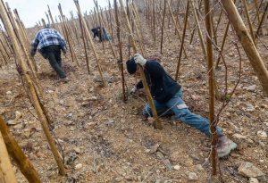 Taille des pieds de vignes au Domaine E. Guigal