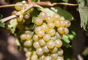 Domaine E. Guigal - Contrôle de maturité dans les vignes