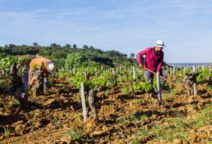 Nalys / Domaine E. Guigal -Travail de la vigne au printemps